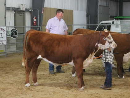 Kaine and his heifer Arcee. Arcee and Kaine won their class and made it back into the championship round. Kaine bought Arcee at the BB Cattle Feb sale.