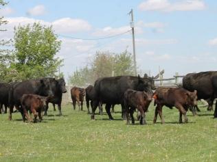 CowsMay2014-3