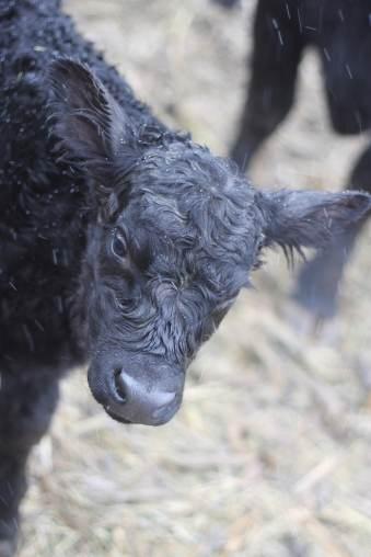 303 bull calf jan 2019