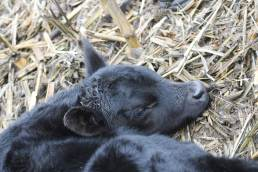 341 calf bull jan 2019