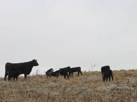 babysitter cow jan 2019