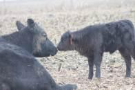 cow calf jan 2019