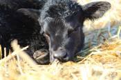 710 calf March 2019