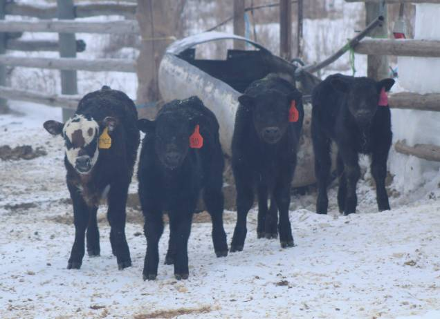 Calf group March 2019