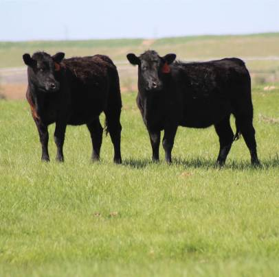 Heifers May 2019-1