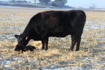 604 and calf Jan 2020