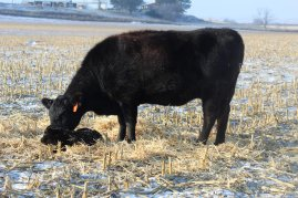 604 and calf Jan 2020