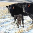 635 and calf Jan 2020