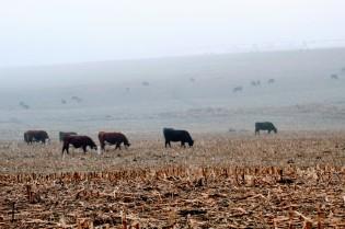 Cows in fog Jan 2020