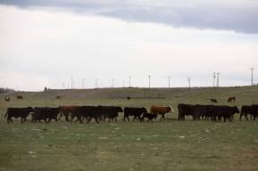 CowsMar2020-7