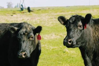 Two m cows April 2020