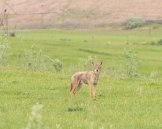 Coyotein5