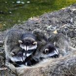 Racoons June 2020