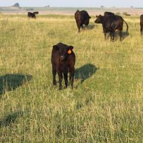 Buffalo heifer July 2020