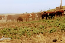 Cows from 5 Aug 2020